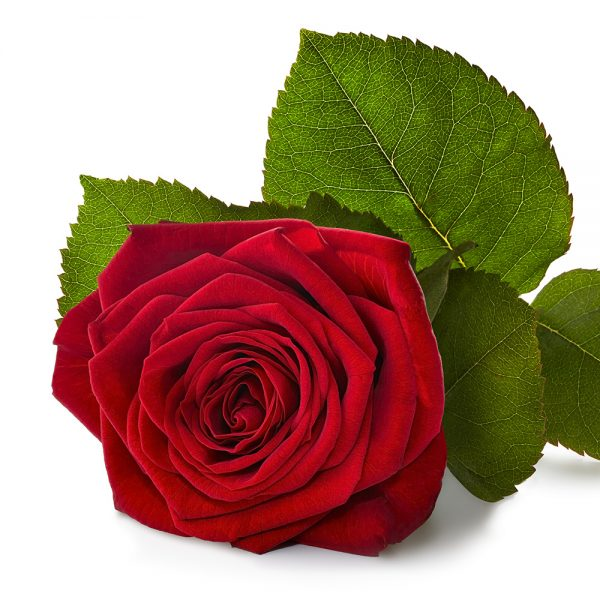 Rote Rosen - Anzahl ab 10 wählbar (Premium, 60cm)